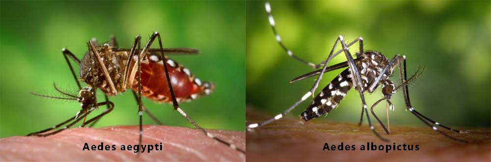 The Zika Virus Mosquitoes